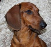 dachshund puppies for sale in Iowa